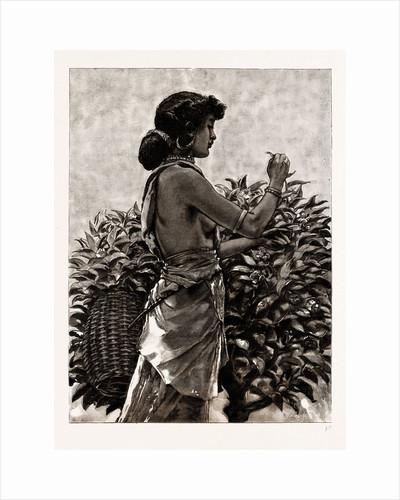 The Ceylon Tea Industry, Sri Lanka: Tamul Girl Plucking A Tea Bush, 1886 by Anonymous