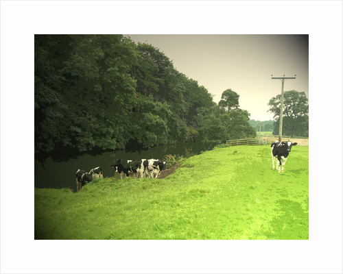 Livestock by the River Dove by Sarah Smith