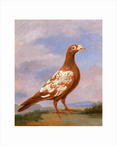 Red pied carrier Carrier Pigeons: Red Pied Carrier by Dean Wolstenholme