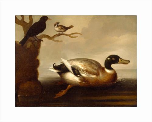 Mallard Duck and Other Birds A Mallard Drake Swimming by Anonymous