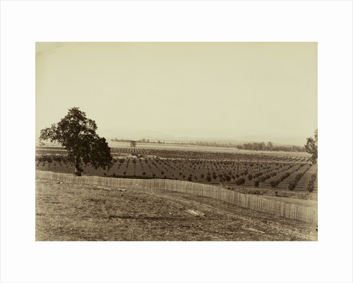 Young Orchard, Palermo, Butte County by Carleton Watkins