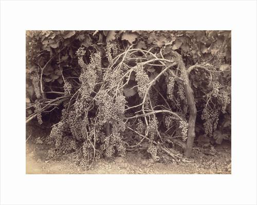 Thompson's Seedless Grapes by Carleton Watkins