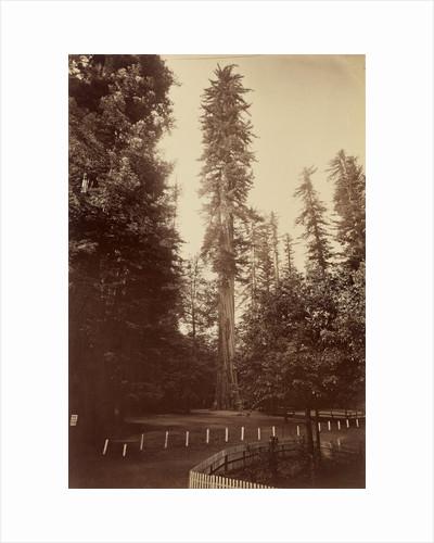 Giant Redwood, Santa Cruz by Carleton Watkins