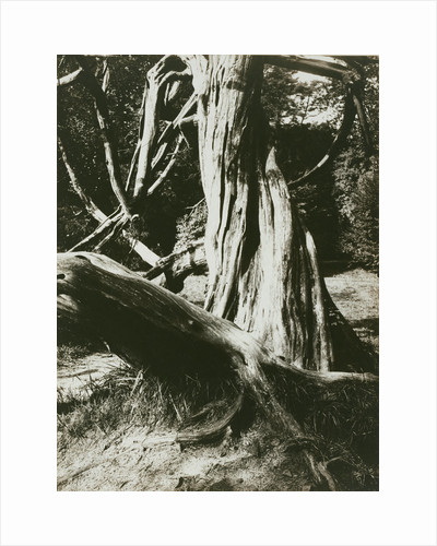 Sapin, Trianon (Pine Tree Trunks at the Trianon) by Eugène Atget