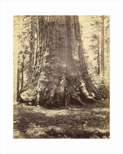 Section of the Grizzly Giant by Carleton Watkins