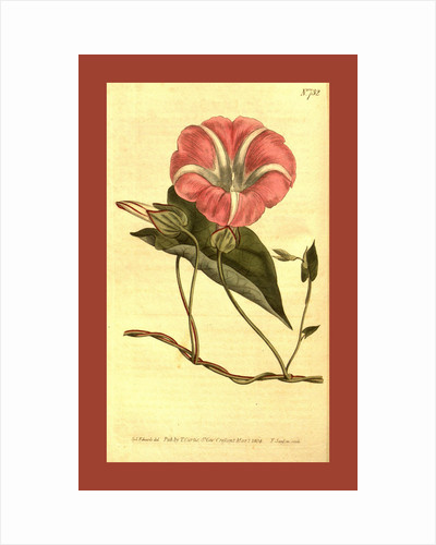 Botanical print by Sydenham Teast Edwards
