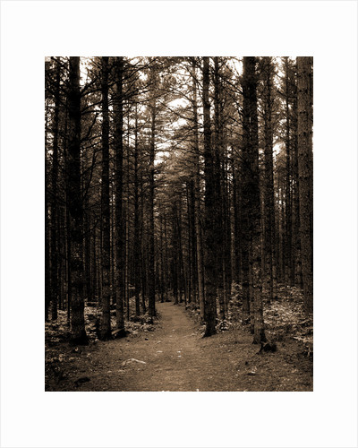 The Cathedral woods, North Conway by Anonymous