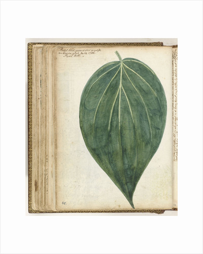 betel leaf of sirih by Jan Brandes