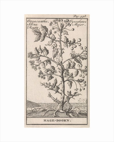 Hawthorn, Caspar Luyken by Jan Claesz ten Hoorn