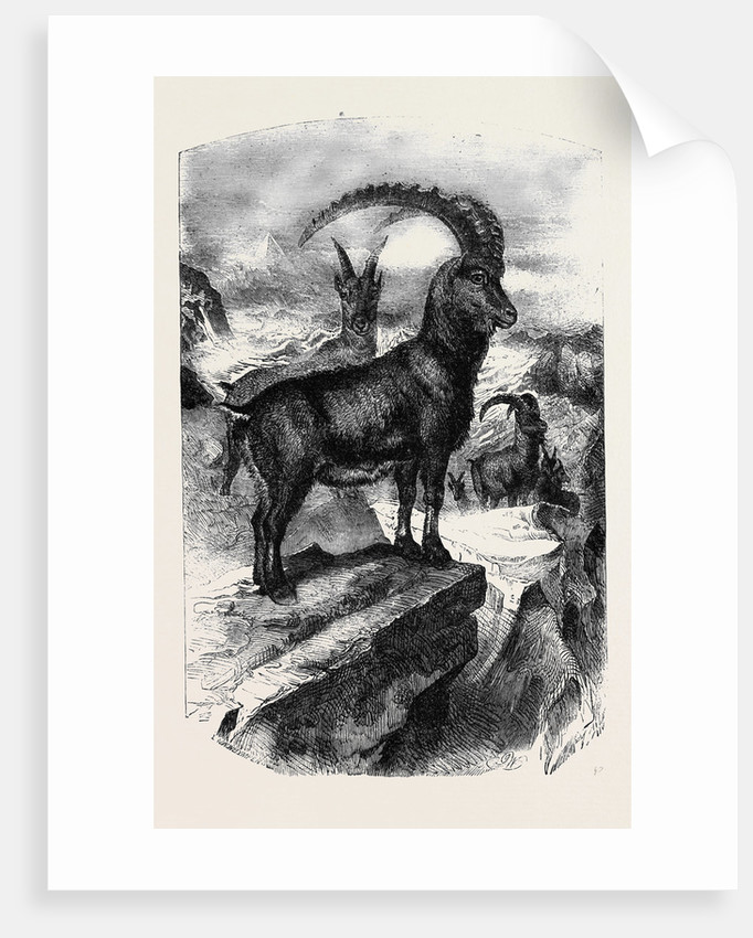 The Bouquetin or Steinbock (Capra Ibex Lin.) by Anonymous
