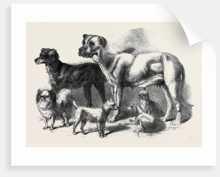 Prize Dogs at the Leeds Show August 3 1861 by Anonymous