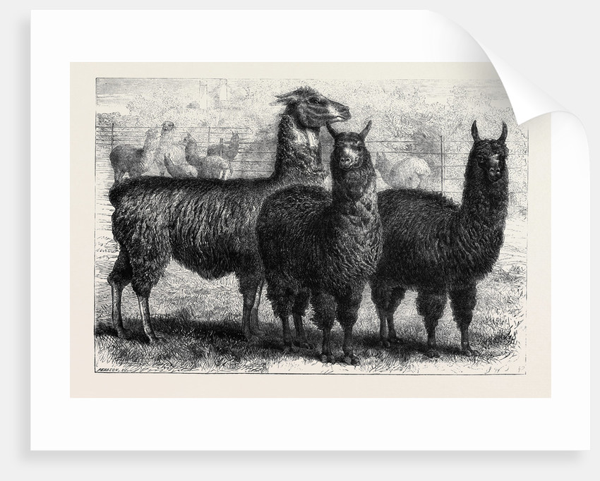 Mr. Ledger's Alpacas and Llamas at Sophienburg the Seat of Mr. Atkinson New South Wales by Anonymous