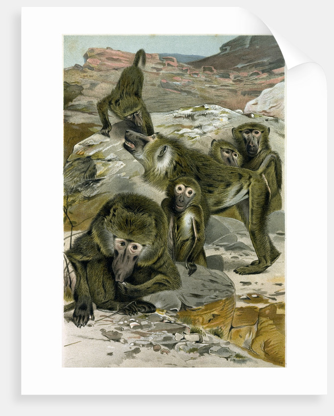 Baboons by Anonymous