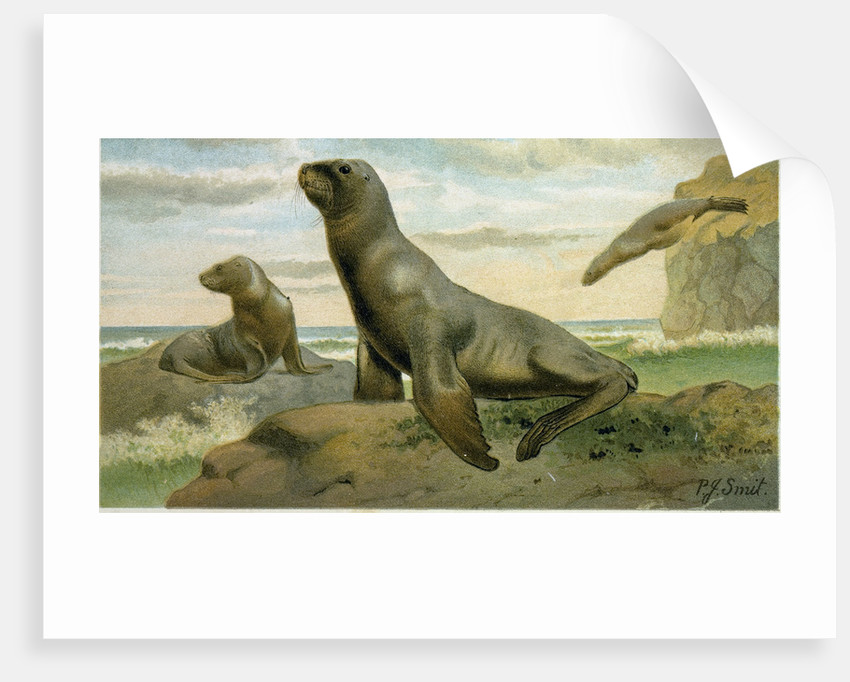 Hooker's Sea Lion by Anonymous