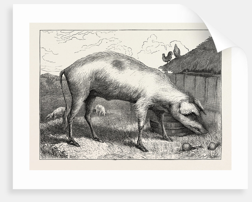 French Hog by Anonymous