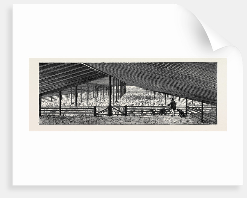 The Drying Floor in the Shearing Shed, Containing 1500 Sheep, One Day's Shearing by Anonymous