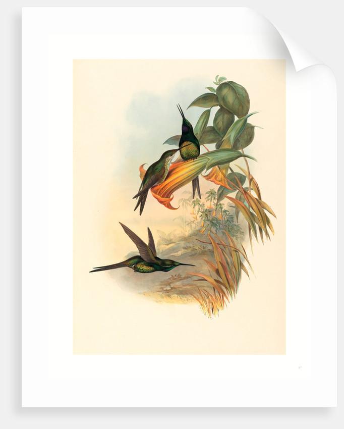 Eugenia Imperatrix (Empress Hummingbird) by Anonymous