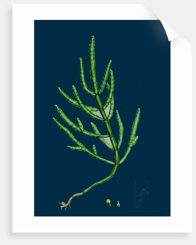 Salicornia Herbacea, Var. Acetaria; Common Marsh-Samphire, Var. A. by Anonymous