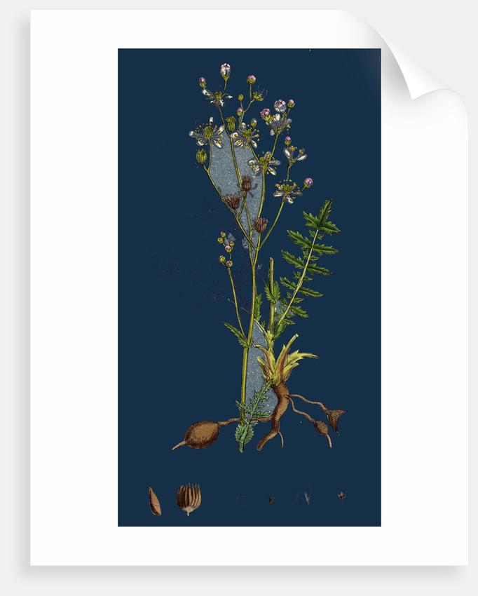 Spiraea Filipendula; Dropwort by Anonymous