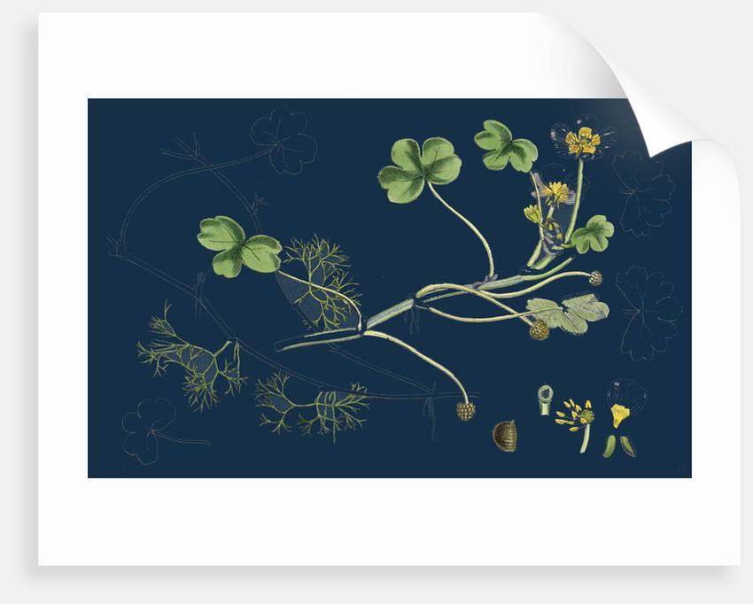 Ranunculus Peltatus Vulgaris; Common Water-Crowfoot by Anonymous