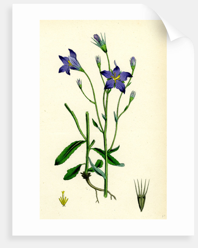 Campanula Patula Spreading Bell-Flower by Anonymous