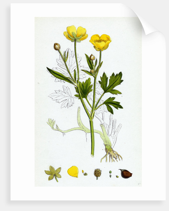 Ranunculus Repens Creeping Crowfoot by Anonymous