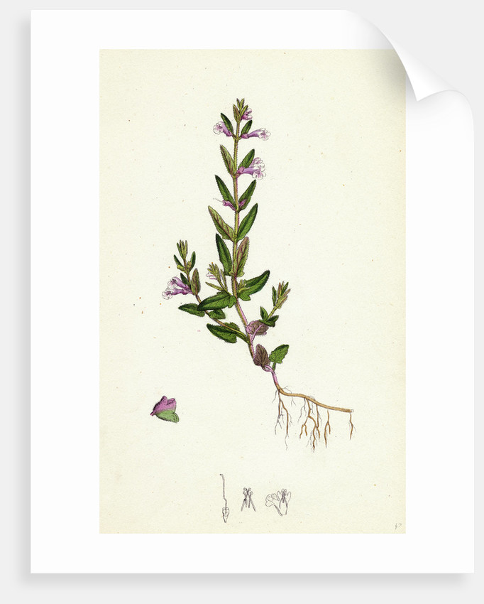 Scutellaria Minor Lesser Scull-Cap by Anonymous
