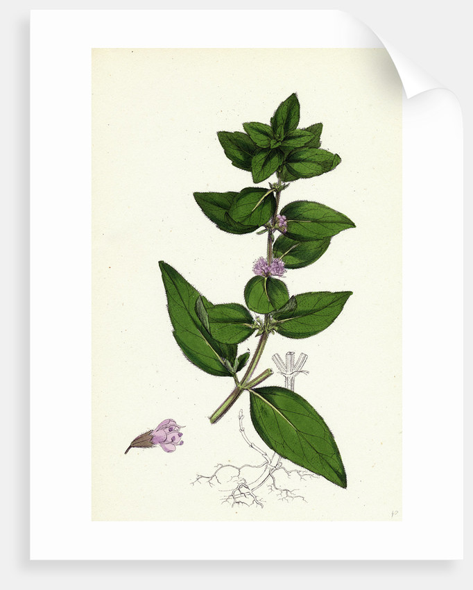 Mentha Gentilis Bushy Red Mint by Anonymous