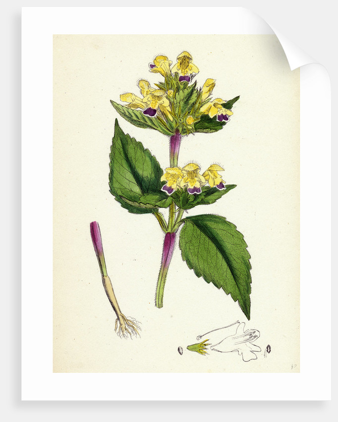 Galeopsis Versicolor Large-Flowered Hemp-Nettle by Anonymous
