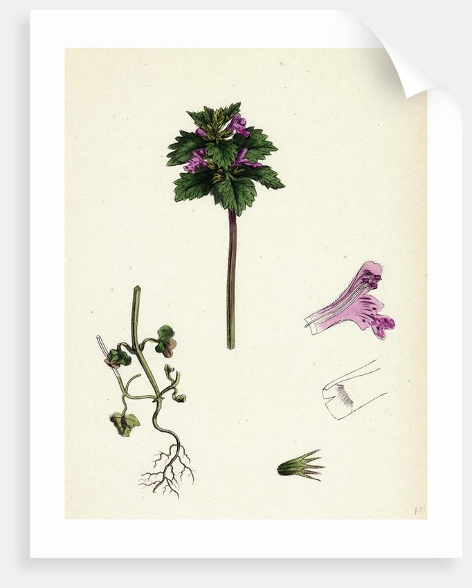 Lamium Incisum Cut-Leaved Dead-Nettle by Anonymous