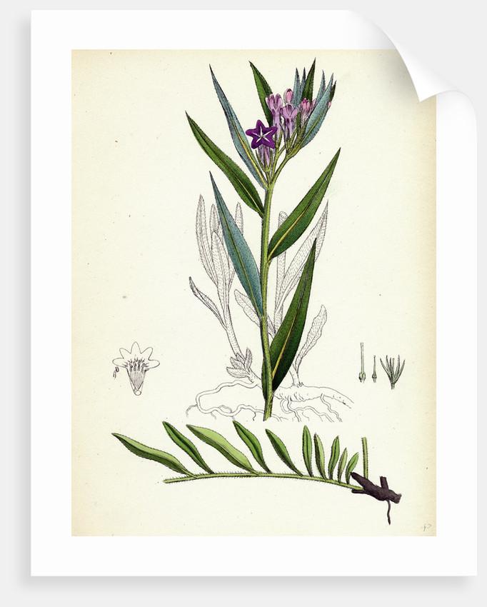 Lithospermum Purpuro-Coeruleum Purple Gromwell by Anonymous
