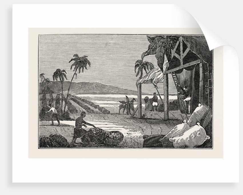 Cultivation of the Cotton Plant, Guiana by Anonymous