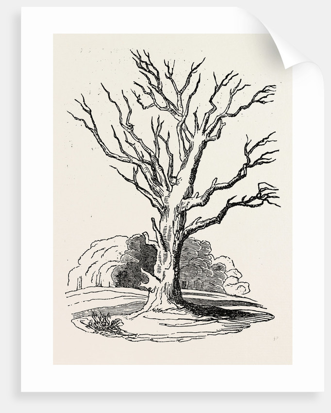 Herne's Oak, in Windsor Park by Anonymous