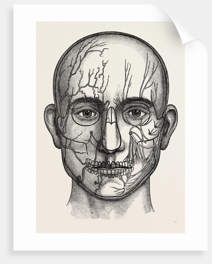 The Nerves Of The Face Posters Prints By Anonymous