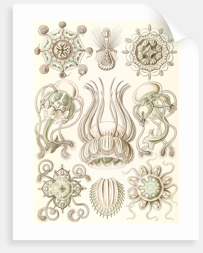 Jellyfishes. Narcomedusae by Ernst Haeckel