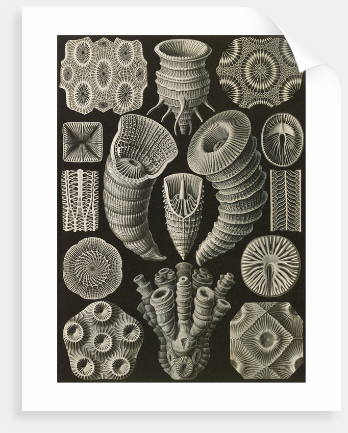 Corals. Tetracoralla by Ernst Haeckel