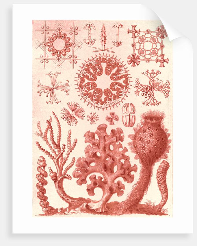 Glass sponges. Hexactinellae by Ernst Haeckel