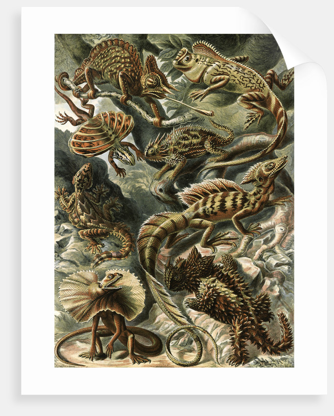 Corytophanid lizards. Lacertilia by Ernst Haeckel