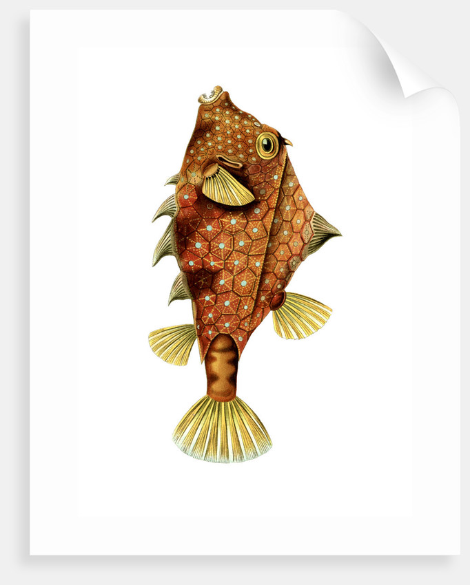 A boxfish. Ostraciontes by Ernst Haeckel