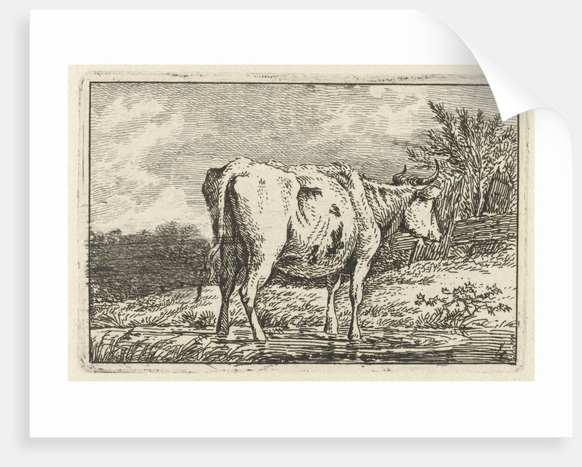 Cow standing in a puddle by Anthony Oberman