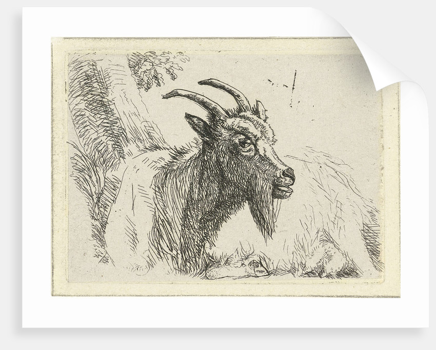 Lying goat by Jan Dasveldt