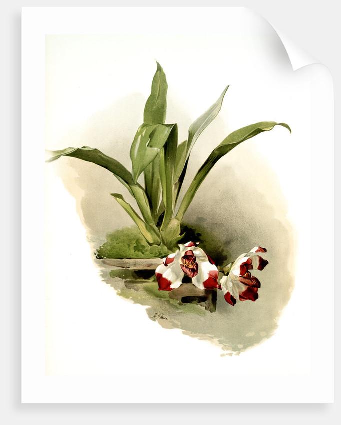 Zygopetalum klabochorum by F. Sander