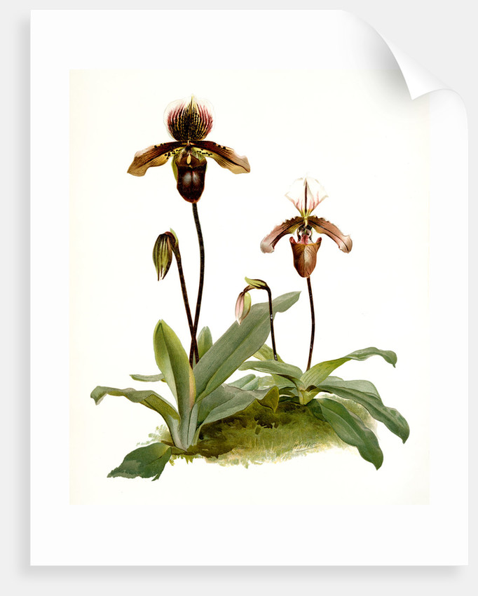 Cypripedium (hybridum) pollettianum; Cypripedium (hybridum) maynardii by F. Sander