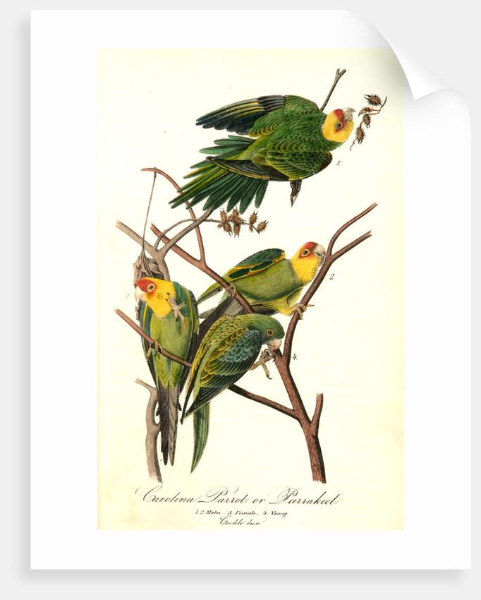 John James Audubon Carolina Parrot Giclee Art Paper Print Poster Reproduction