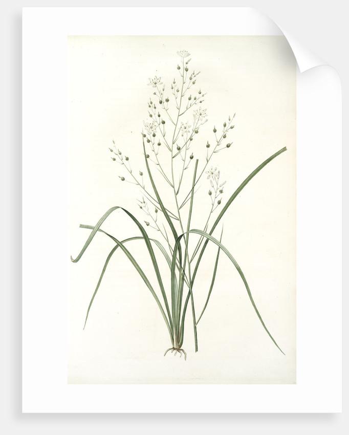 Phalangium ramosum, Anthericum ramosum; Phalangère rameuse, Spider wort by Pierre Joseph Redouté