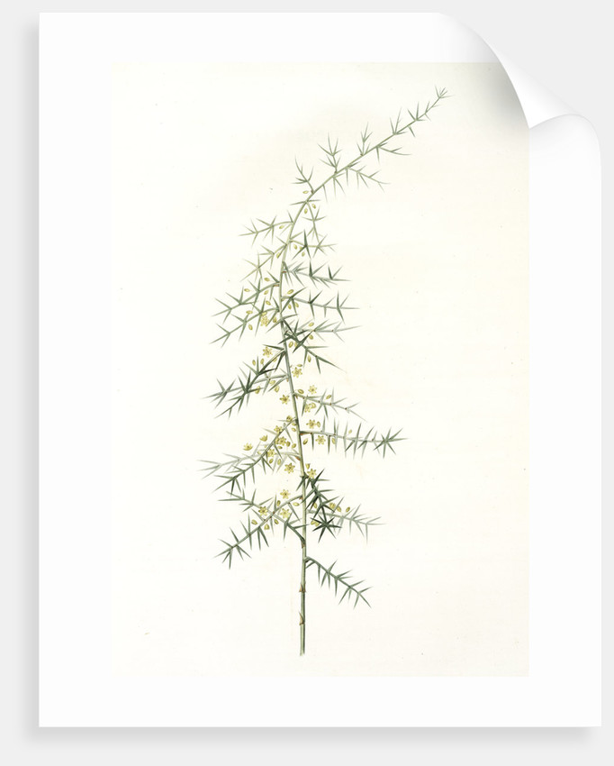 Asparagus horridus, Asperge à grosses épines, Spiny asparagus by Pierre Joseph Redouté