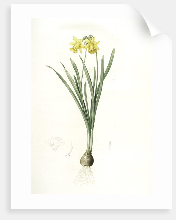 Narcissus minor, Narcissus Pseudo-Narcissus; Narcissus petit, Common Daffodil by Pierre Joseph Redouté