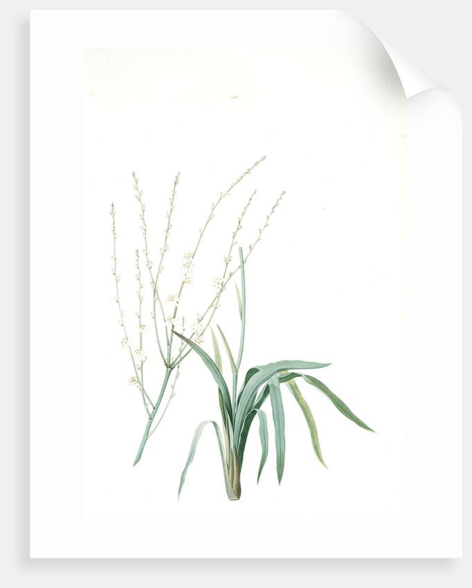 Phalangium elatum, Chlorophytum elatum; Phalangère élancée, Spider plant by Pierre Joseph Redouté