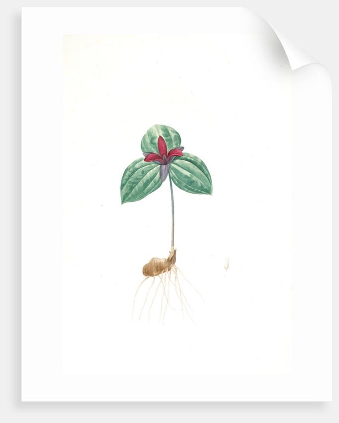 Trillium sessile, Trillium sessile, Wood-lily; Birthroot, Wake Robin, Stinking Benjamin by Pierre Joseph Redouté