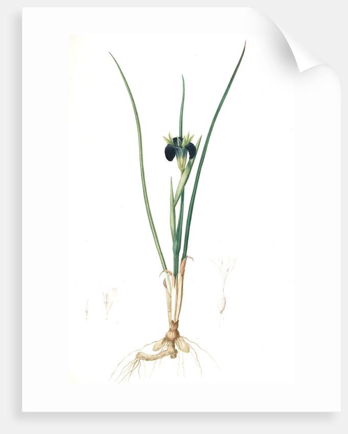 Iris tuberosa, Hermodactylus tuberosus; Snake's head Iris, Widow Iris by Pierre Joseph Redouté